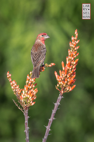 family arizona flower bird nature birds bicycle unitedstates az bloom bisbee housefinch ocatillo specanimal swellerln