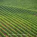 Long lines of vines by Paula McManus