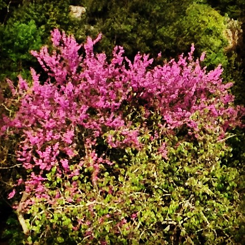 #nature #tagsforlikes #spring #springtime #season #color #photooftheday #pic #photo #tree #flowers #fleur #floral #insta #instablooms #instagram #instagood  #blooms #purpleflowers #purple #igers