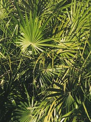 arecales, borassus flabellifer, leaf, tree, plant, flora, green, saw palmetto, natural environment, vegetation,