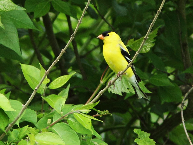 American Goldfinch 20150515