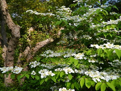 Double-file Viburnum