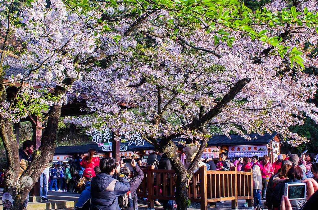 阿里山櫻花季末