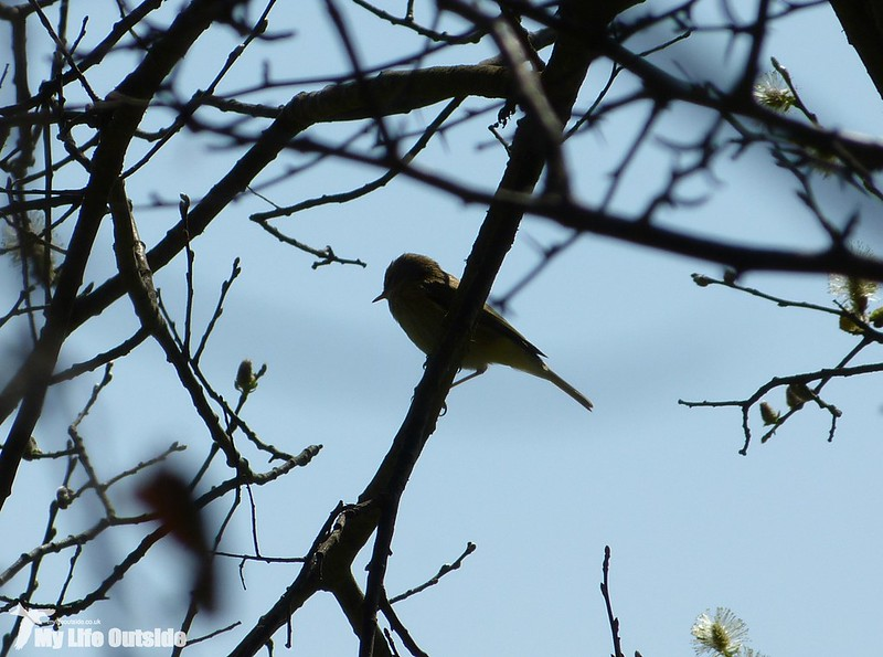 P1120112 - First Willow Warbler