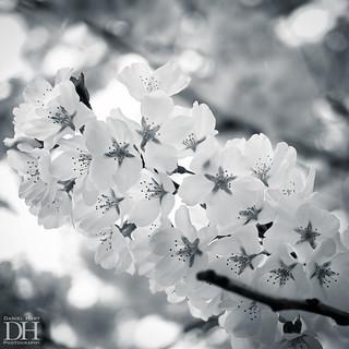 Cherry Blossom-1
