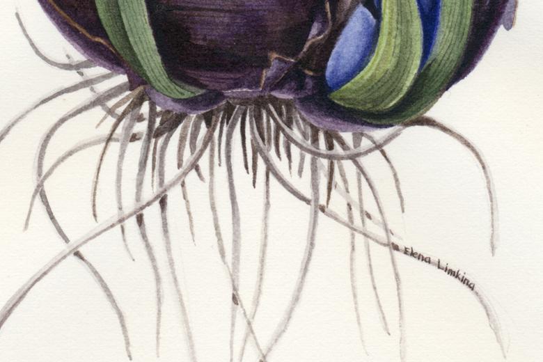 Hyacinthus_780