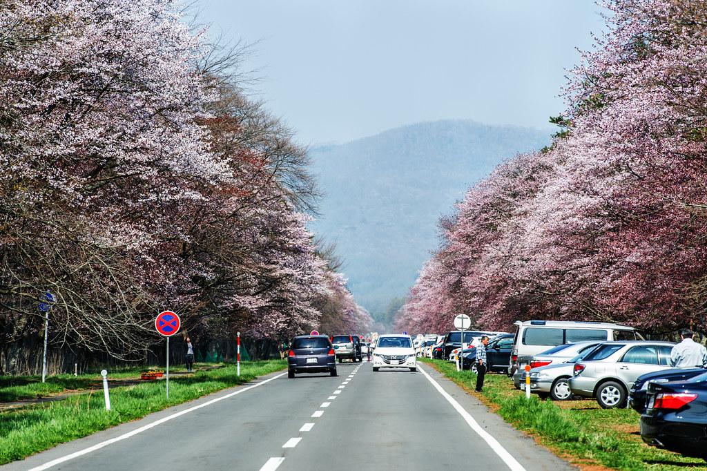二十間道路櫻並木