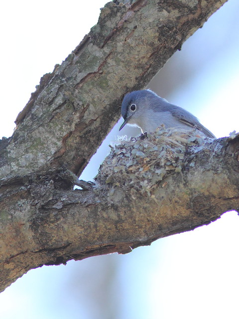 Blue-gray Gnatcatcher at nest in progress 20150502