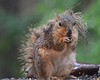 Wet Squirrel