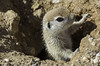 Round-tailed Ground Squirrels