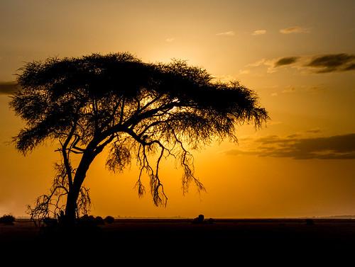 africa nairobi safari tree acacia amboseli evening sunset kenya kajiado ke