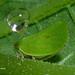 DSC_4636 leaf hopper by herouw