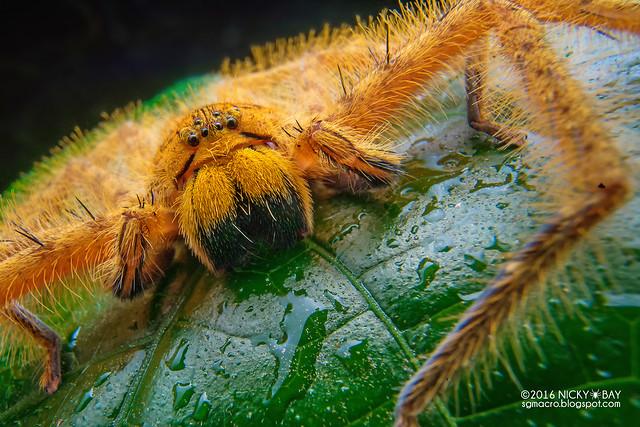 Huntsman spider (Heteropoda davidbowie) - DSC05535