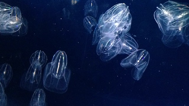 Glowing comb jellies