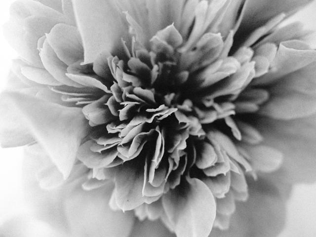black and white photo of camelia
