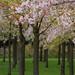 sakura - Prunus @japanese blossom garden by erica hogenbirk