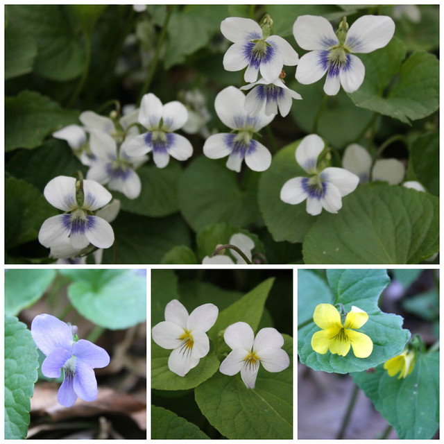 four different kinds of violets, names unknown