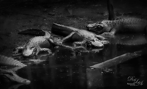 B&W image of several alligators at the St. Augustine Alligator Farm