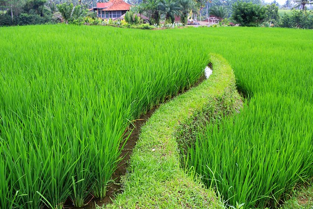 Rice Field Bali Indonesia