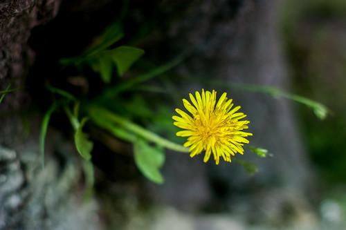 a dandelion 민들레
