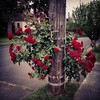 Neighborhood rose bush beautifying a telephone pole.