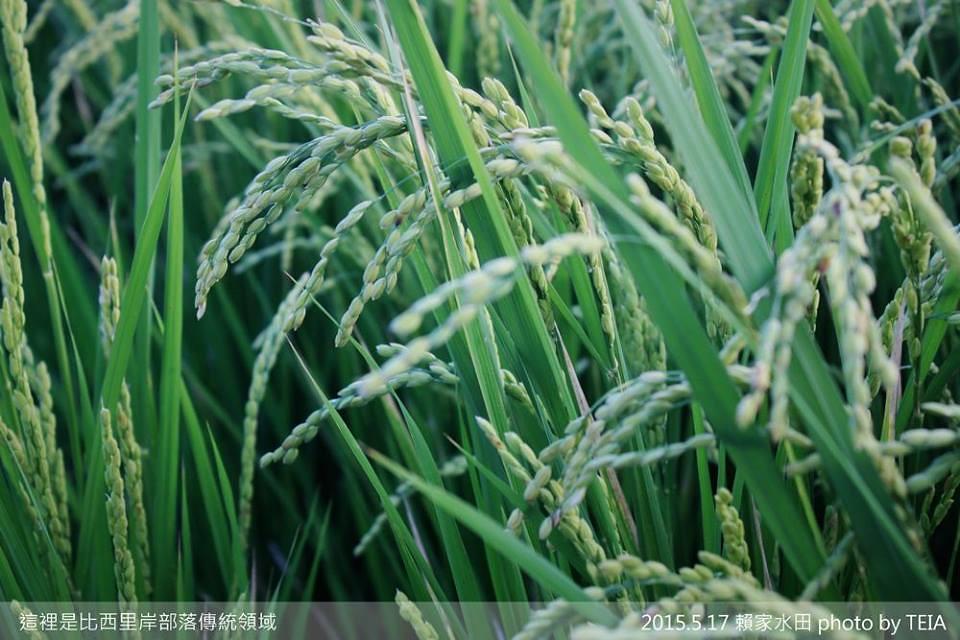 20150517稻穗灌漿中