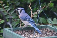 emberizidae(0.0), wildlife(0.0), animal(1.0), branch(1.0), fauna(1.0), blue jay(1.0), bird(1.0),