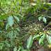 Small photo of Kalmia latifolia (Mountain-laurel)