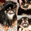 Cordelia the #pomeranian #dog (129-131 of 365) my funny girl