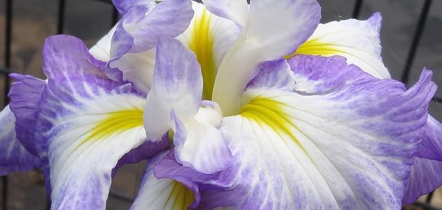 interior of blue, white and yellow iris, 2