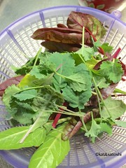 harvest(baby kale, Swiss chard & beet tops)