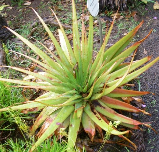Aloe pretoriensis 16958684418_626a039c60_o