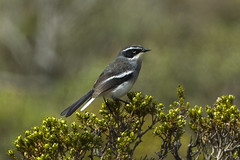 Fairy Warbler - South Africa_S4E7312