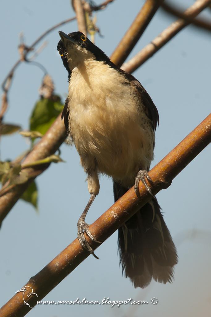Angú (Black-capped donacobius) Donacobius atricapilla