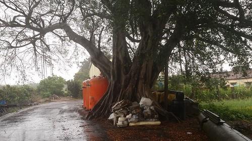 老樹下堆積雜物。(攝影:陳振當)