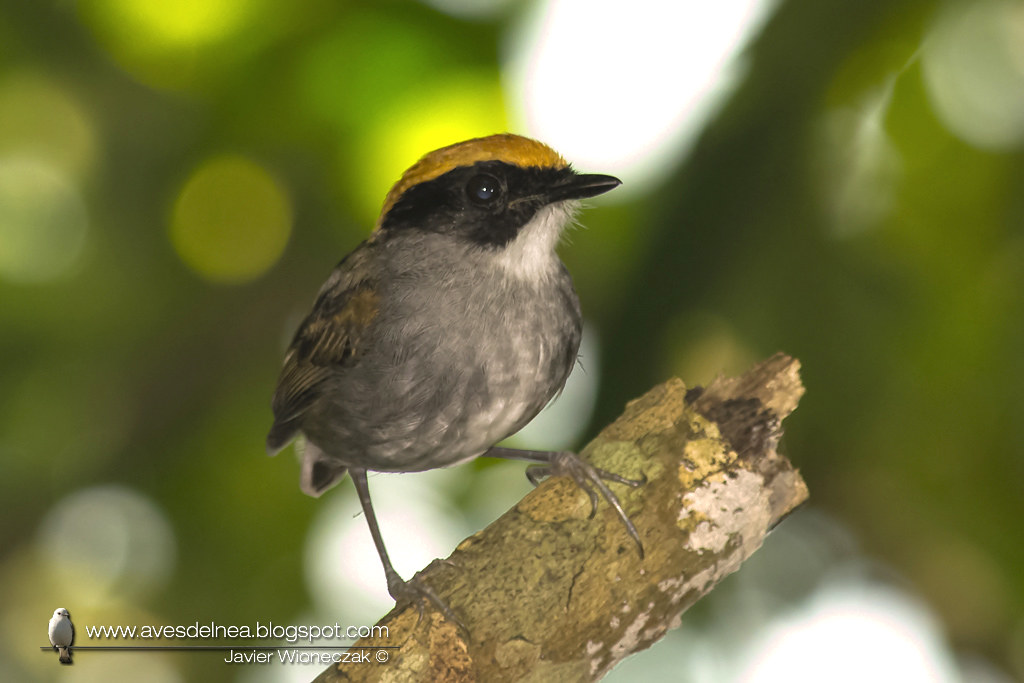 Toco toco de Mejillas Negras ( Black-cheeked Gnateater ) Conopophaga melanops