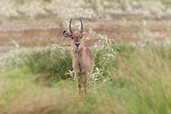 animal, prairie, antelope, mammal, fauna, impala, grassland, gazelle, wildlife,
