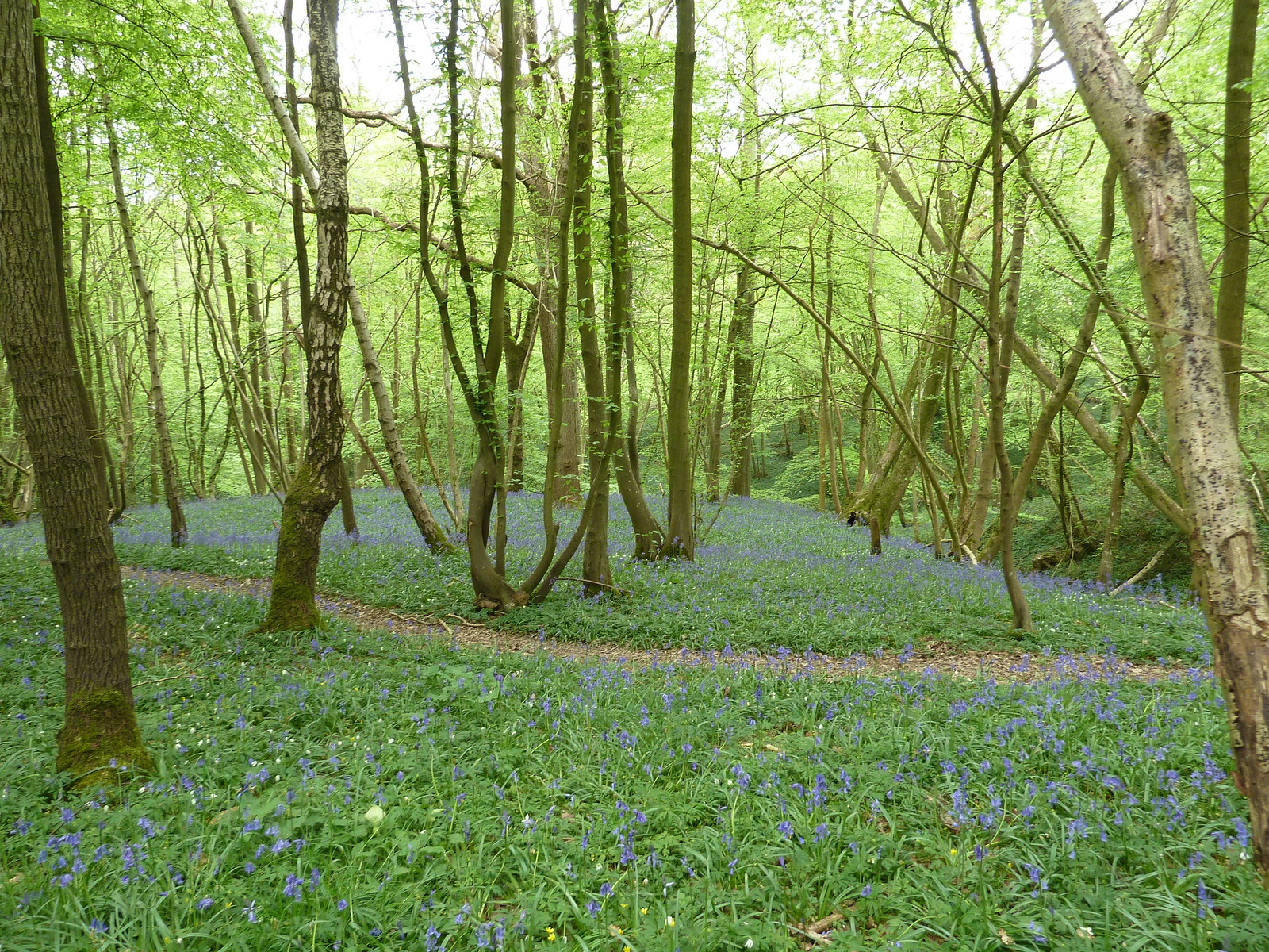 Bluebell Woods Tenterden to Rye.