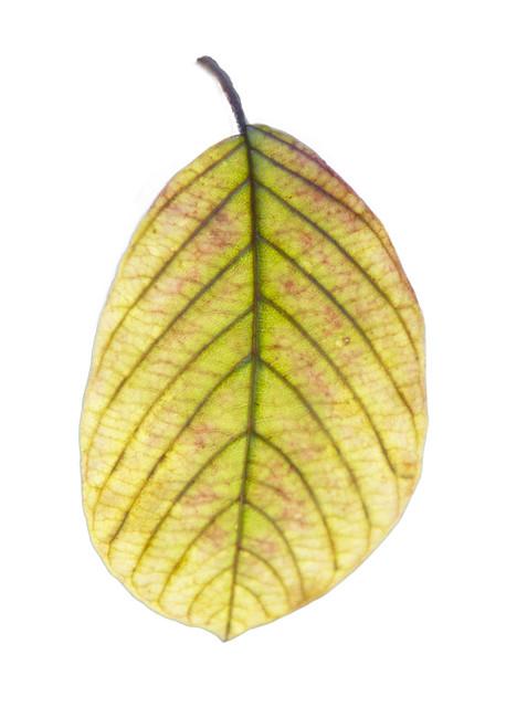 IMG_2217 Leaf