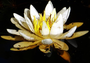Water Lily  #64: WHITE  #12