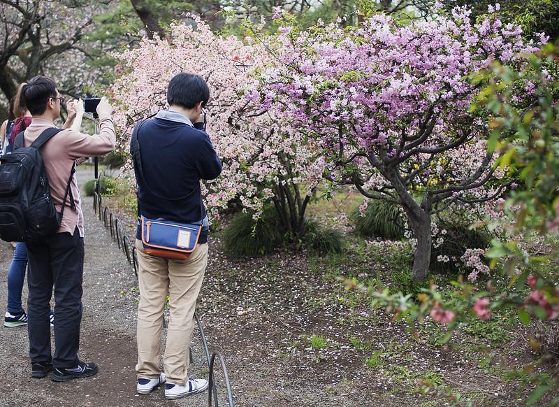 körsbärsblomning, shinjuku gyoen, tokyo, japan_IMG_4880
