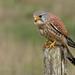 Kestrel  (Falco tinnunculus) by Steven Mcgrath (Glesgastef)