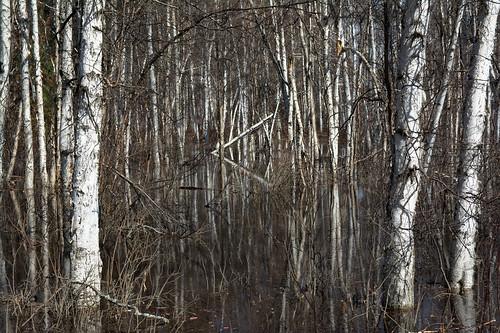 water alaska birch wetland creamersfield taiga borealforest