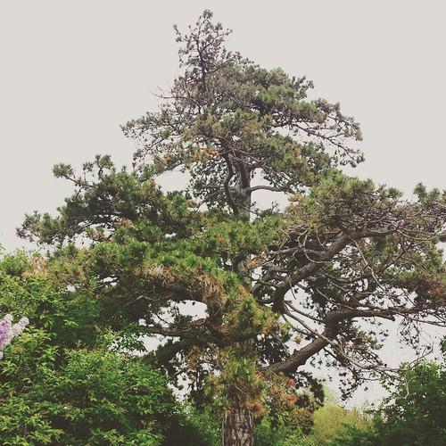 Tree at Highland Park #LilacFestival #rochesterlilacfestival #Rochester