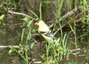 Thirsty goldfinch