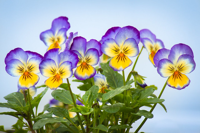 Flowers, Viola, Violas, Flower, Bright, Yellow, Blue, Happy
