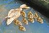 Mallard Duck and 8 Ducklings 15-0530-4693 by digitalmarbles