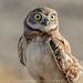 Burrowing Owl, juvenile by DeniseDewirePhotography