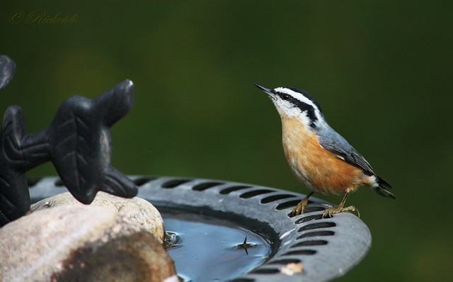 Sittelle à poitrine rousse / Red-Breasted Nuthatch / sitta canadensis
