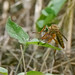 Robber Fly with Green Eyes